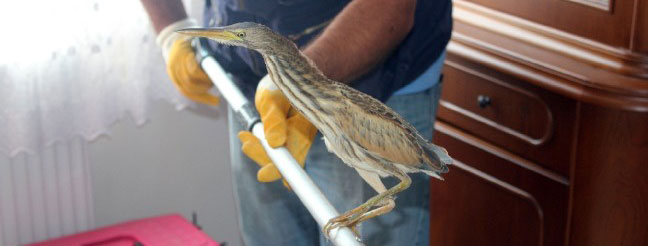 Nesli tükenmekte olan Hint balıkçıl kuşu eve sığındı